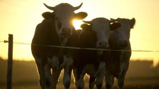 Egenhofen: Kühe auf der Weide / Sonnenuntergang