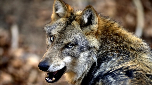 Wolf im Bayerischen Wald, 2017