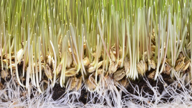 Wheatgrass seedling Wheatgrass seedlings growing in soil showing the seeds roots and sprouted shoo