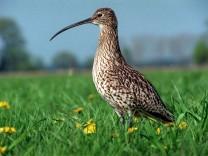 Knapp die Hälfte der heimischen Vögel gefährdet - Großer Brachvogel