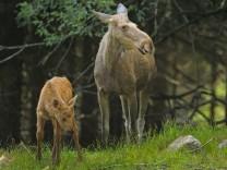 Europaeischer Elch Alces alces alces Elchkuh mit Kalb in einem Wald Deutschland Bayern Bayeris