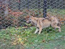 Entlaufener Wolf gefangen