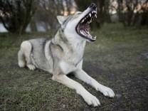 Ein Saarlooswolfhund