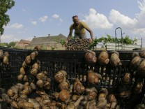 Austrian snail farmer Gugumuck collects snails (Helix Aspersa) in a basket in his farm in Vienna