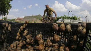 Austrian snail farmer Gugumuck collects snails (Helix Aspersa) in a basket in his farm in Vienna