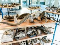 Vermessung Antilopenschädel