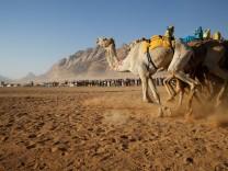 Camels run across 5km racetrack during camel race in Wadi Rum