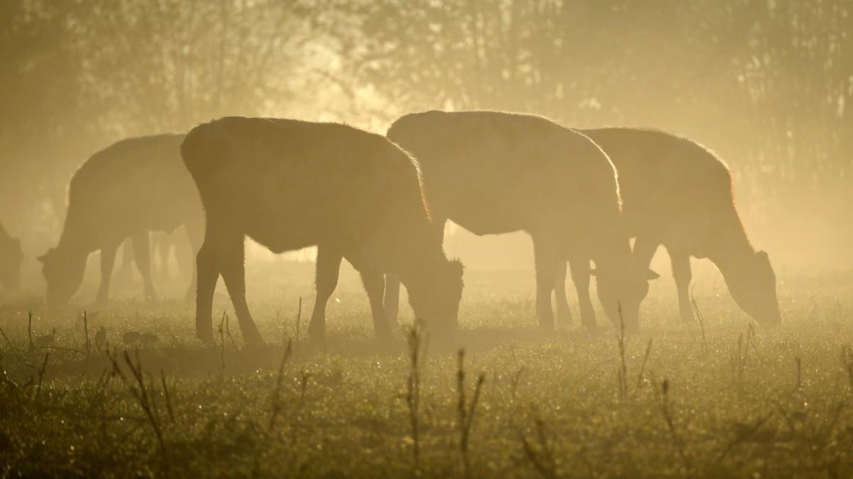 Wie Rindfleisch dem Klima schadet