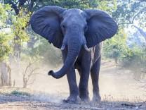 Zimbabwe Masvingo Gonarezhou National Park African elephant PUBLICATIONxINxGERxSUIxAUTxHUNxONLY F