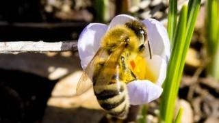 Biene mit Krokus