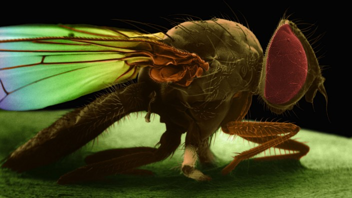 House fly SEM Coloured scanning electron micrograph SEM of House fly Musca domestica The house