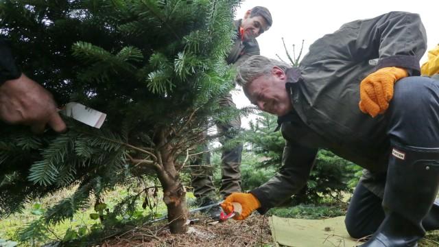 Nordmanntanne Weihnachtsbaum.Nordmanntanne Oder Blaufichte Der Optimale Weihnachtsbaum
