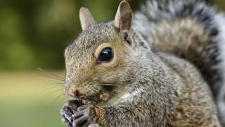Grey squirrel Sciurus carolinensis eating PUBLICATIONxINxGERxSUIxAUTxHUNxONLY MJOF001101