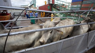 Cattle walk up a ramp into a cargo ship for export, at Vila do Conde port in Barcarena