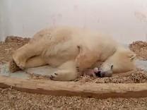 Neues Eisbärenbaby im Tierpark geboren
