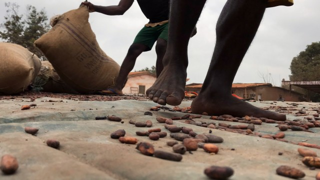 Workers transport sacks of cocoa beans in Ntui village