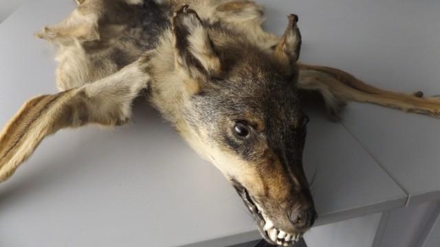 HZA-M: Münchner Zoll beschlagnahmt Ganzpräparat eines Wolfes