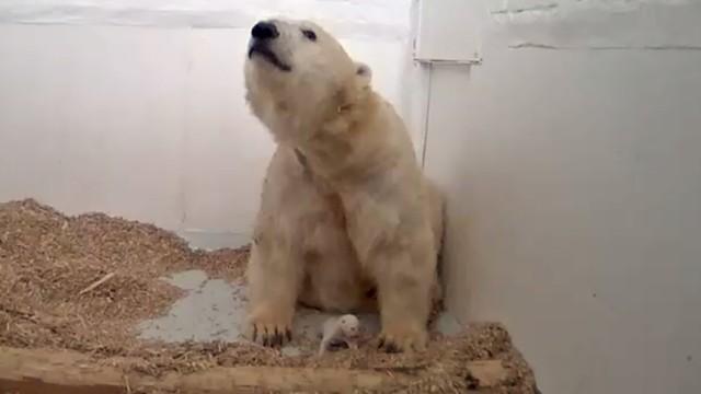 Eisbär-Nachwuchs im Tierpark Berlin