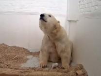 Berliner Eisbärjunges ist tot