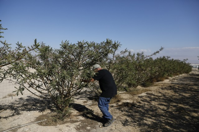 Guy Erlich, an Israeli entrepreneur, checks a frankincense plant at a plantation in Kibbutz Almog, Judean desert, in the West Bank