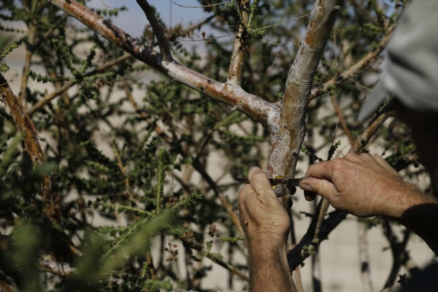 Guy Erlich, an Israeli entrepreneur, taps a frankincense plant at a plantation in Kibbutz Almog, Judean desert, in the West Bank