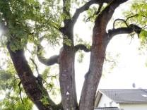 Pliening Baumriesen Naturdenkmäler