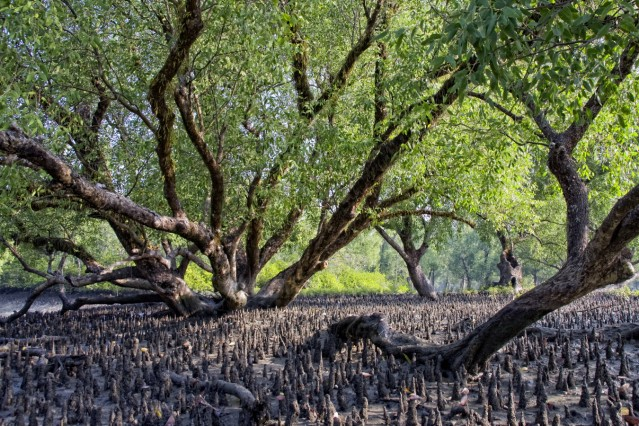 Sundarban the Largest Mangrove Forest in the World