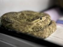 Reptilienstation, Schlangen, von denen eine einen jungen Starnberger gebissen hat.