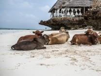 Sansibar Kühe Strand