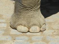 Elefant im Münchner Tierpark, 2011