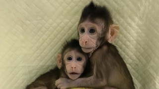 Hua Hua und Zhong Zhong - Affen nach Dolly-Methode geklont