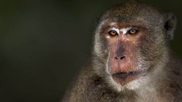 Long tailed macaque Macaca fascicularis male portrait Khao Sam Roi Yot National Park Thailand P