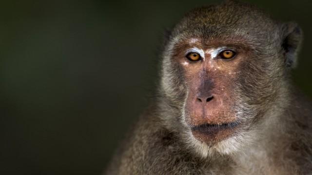 Long tailed macaque Macaca fascicularis male portrait Khao Sam Roi Yot National Park Thailand P