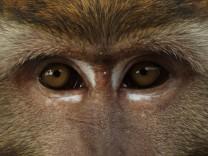 Javaneraffe Javaner Affe Langschwanzmakak Langschwanz Makak Macaca fascicularis Macaca irus M