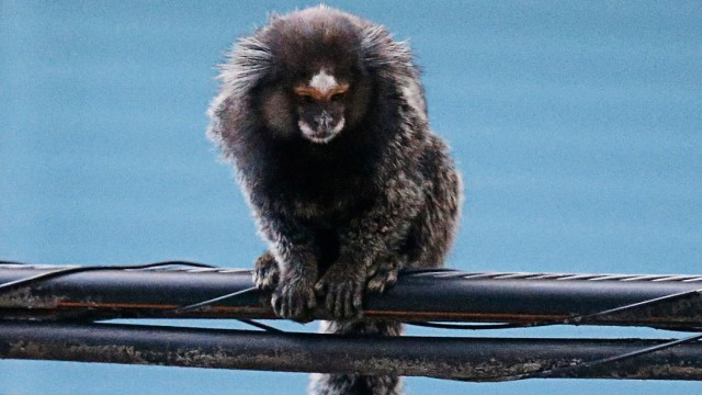 A black-tufted marmoset sits on electric cables in an urban area in Rio de Janeiro
