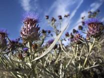 Eine italienische Wissenschaftlerin möchte Disteln als Glyphosat-Ersatz etablieren.
