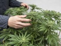 Cannabis: Der Bund Deutscher Kriminalbeamter (BDK) fordert die Legalisierung von Haschisch und Marihuana