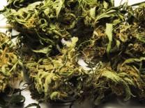Cannabis sativa indica buds of marihuana hemp ganja plant CTKxPhoto LiborxSojka CTKPhotoOF201; gras+jetzt