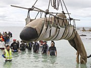 Drama um Wale in Australien, AFP