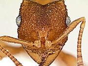 Südamerikanische Ameisen, Ein Staat ohne Männer, Foto: California Academy of Science