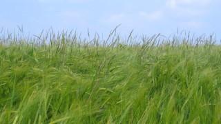 Acker-Fuchsschwanzgras, Alopecurus myosuroides, auf einem Feld mit Gerste