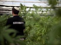 Cannabis Hanf Marihuana