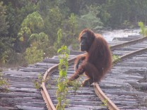 Female orangutan on rails, SPERRFRIST: 15.02., 18 Uhr