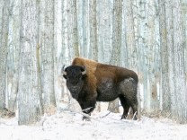 Buffalo standing in snow among poplar trees in elk island national park