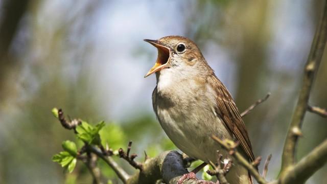 Nachtigall Luscinia megarhynchos singend nightingale Luscinia megarhynchos singing BLWS041218