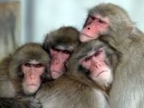 4 Rhesusaffen drücken ihre Köpfe eng aneinander Macaca mulatta McPGUK McPGUK