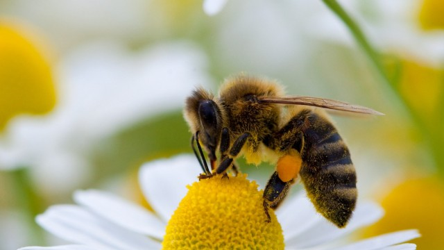 Biene sammelt Blütenpollen