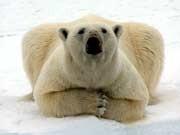 Eisbären in Gefahr