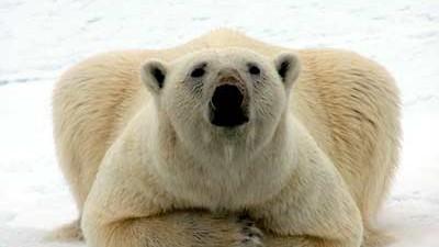 Eisbären Eisbären in Gefahr