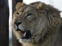 Gerettete Löwen in Südafrika